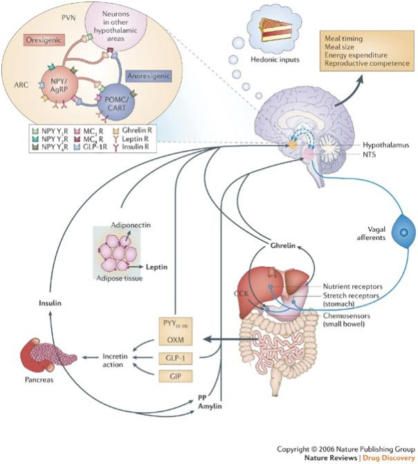 mekanisme hormon