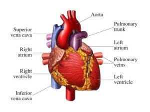 waspadai penyakit jantung, rutinlah memeriksa kesehatan jantung anda