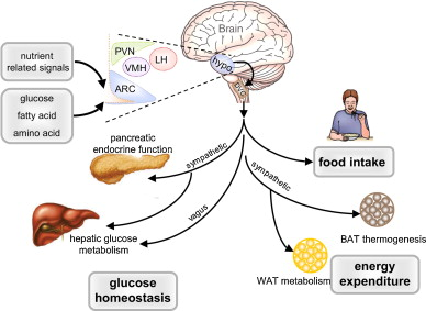 interaksi antara otak dan organ-organ yang berperan penting dalam regulasi nafsu makan
